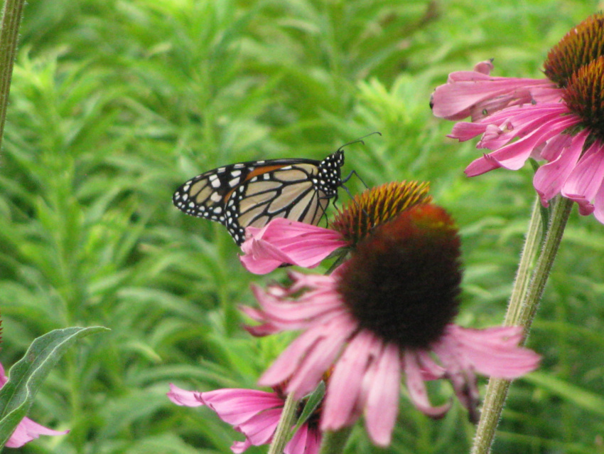 Butterfly on Coneflowers 2