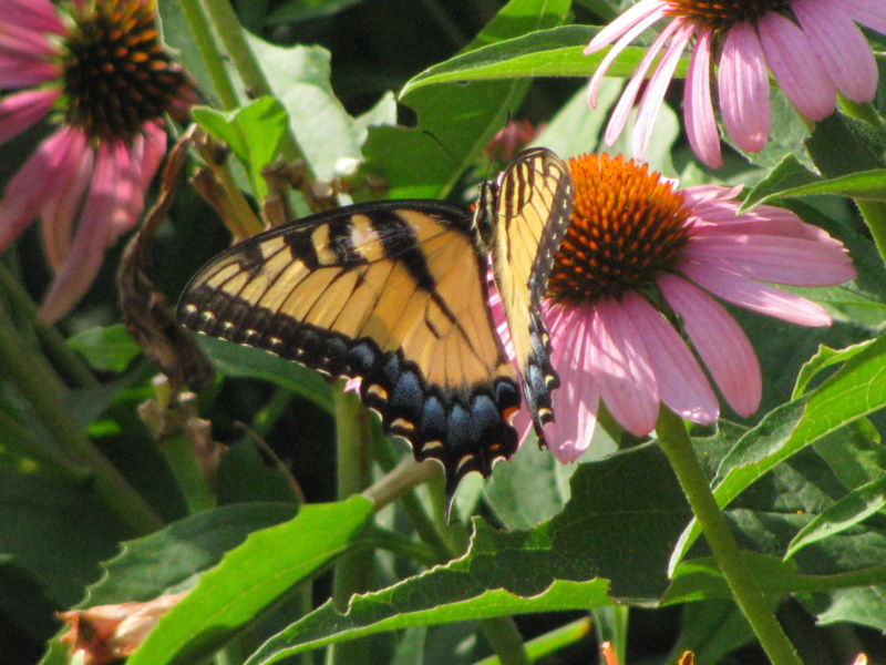 Butterfly on Coneflowers
