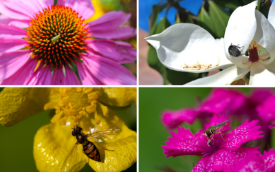 National Pollinator Week – Beetles & Flies