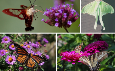 National Pollinator Week – Butterflies & Moths