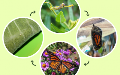 Monarch Quest: Follow a Monarch Through Its Life Cycle Journey
