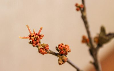 Forcing Winter Branches to Bloom